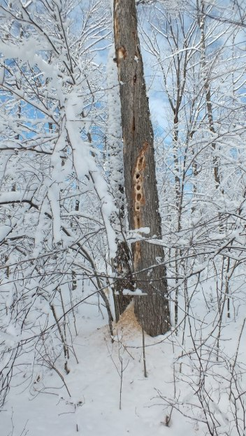 Pileated Woodpecker holes in Algonquin Park tree - Ontario - January 2013