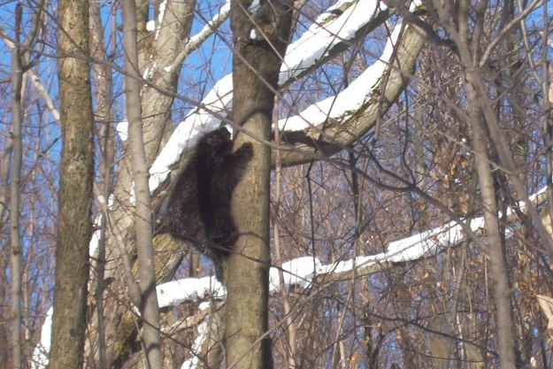 Porcupine climbs tree in forest