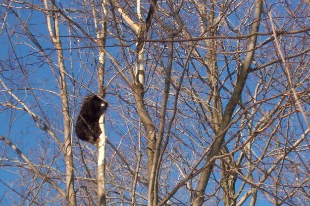 Porcupine eating bark off tree limbs