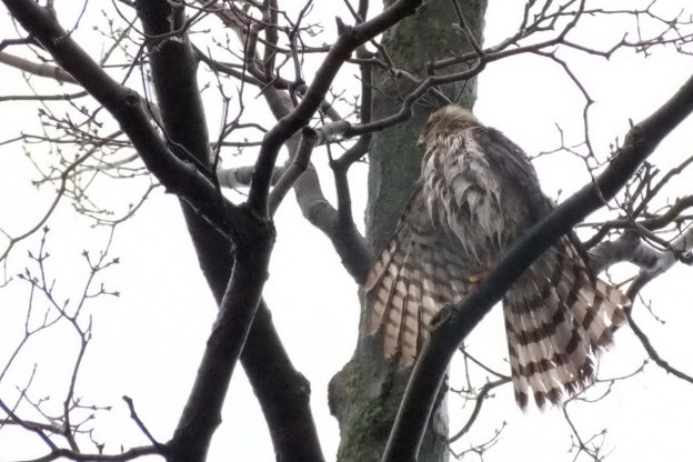Sharp Shinned Hawk holds right wing out to dry
