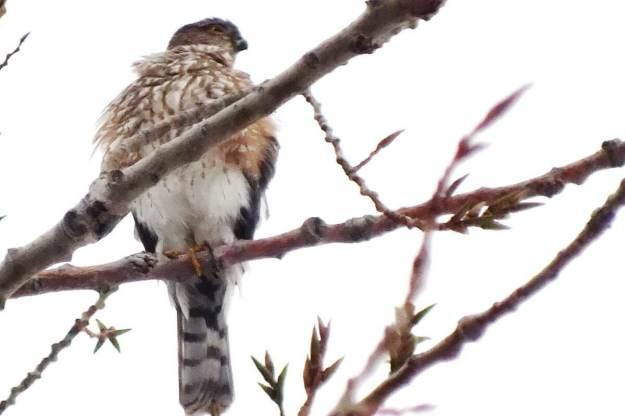 Sharp-shinned hawk - looks to lleft - Milliken Park - Toronto