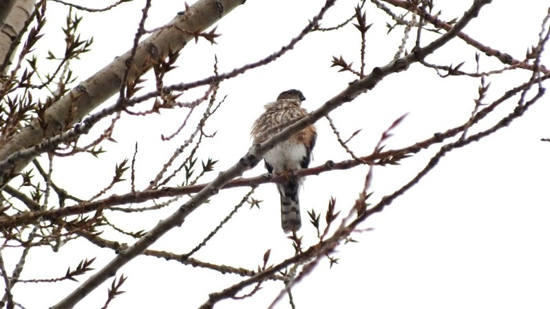 Sharp-shinned hawk - sitting in Milliken Park tree - Toronto
