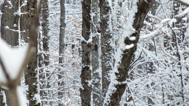 Two Pileated Woodpeckers - female - on side of tree, Algonquin Park - January 2013