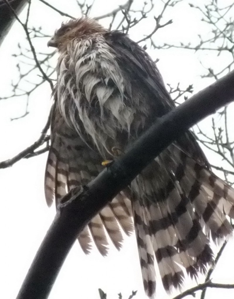 Wet Sharp Shinned Hawk holds on with claw