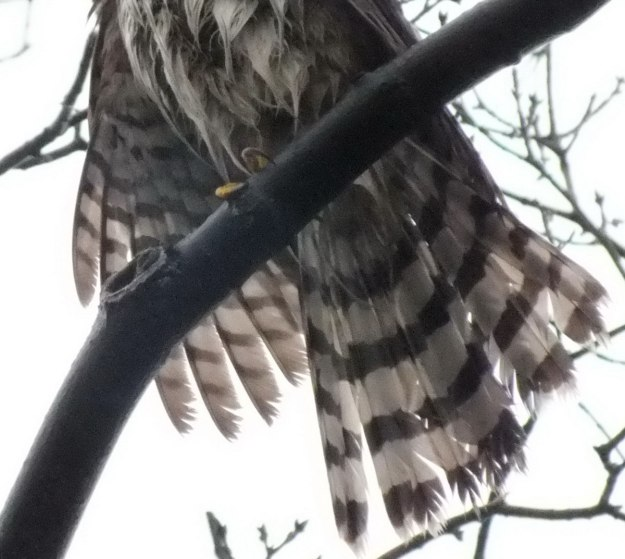 Wet Tail feathers of Sharp Shinned Hawk