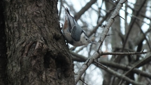 White- breasted nuthatch 1, Lynde Shores Conservation Area, Whitby, Ontario