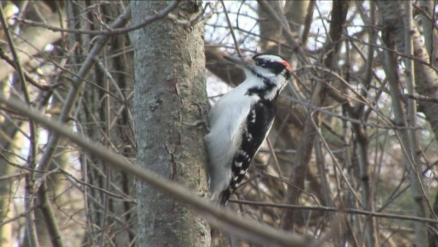 hairy woodpecker 2, Lynde Shores Conservation Area, Whitby, Ontario