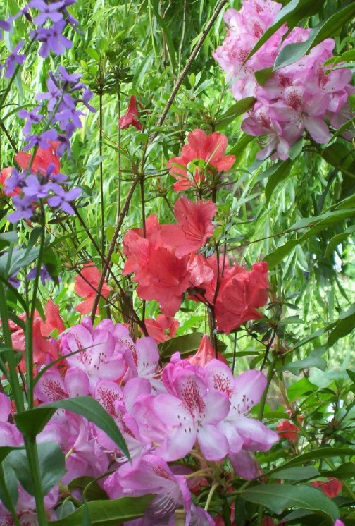 An image of Pink and Orange Azaleas growing in Claude Monet's garden in Giverny, France.