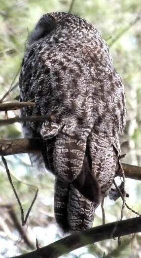 Great Grey Owl in tree near Ottawa, Ontario, Canada