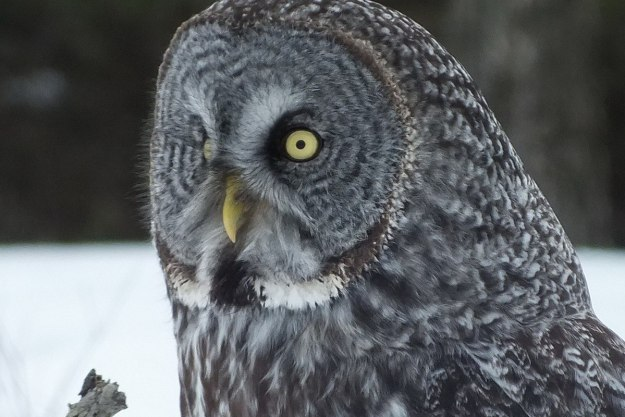 Great Grey Owl near Ottawa, Ontario, Canada