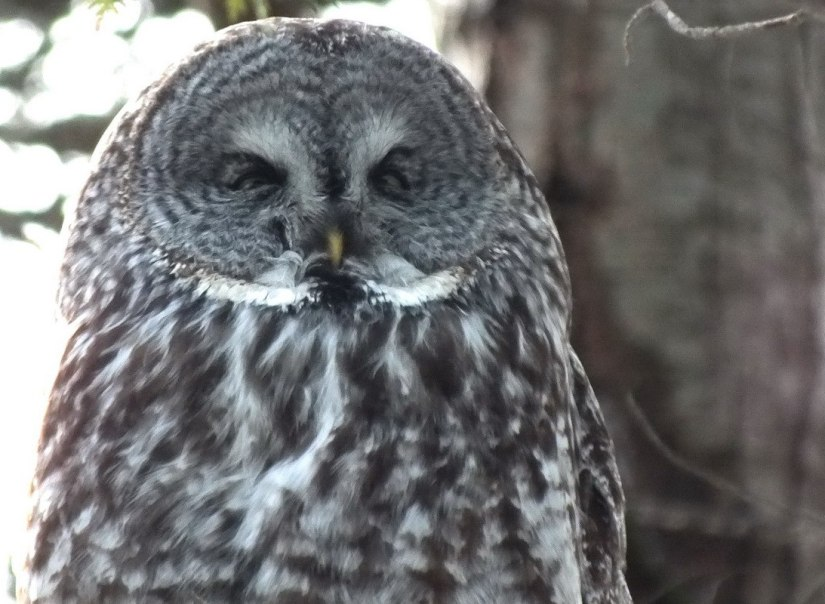 Great Grey Owl - cross eyed in pine tree - Ottawa - Ontario - Canada - Frame To Frame - Bob & Jean picture