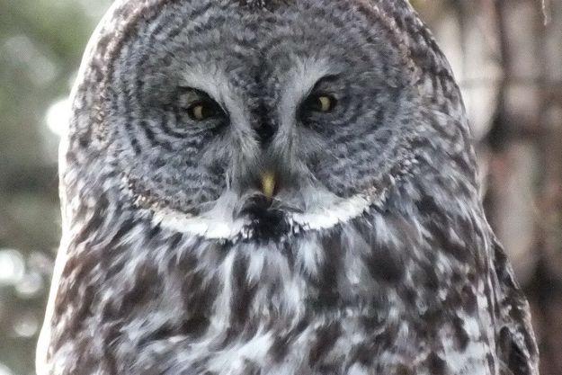 Great Grey Owl near Ottawa, Ontario