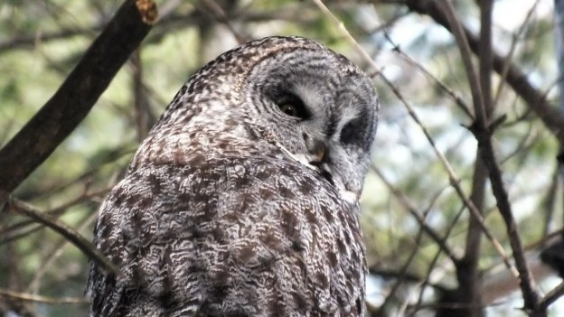 Great Grey Owl looks over its right shoulder in a pine tree near Ottawa, Ontario, Canada
