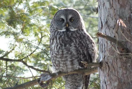 Great Grey Owl looks towards lens - Ottawa - Ontario - Canada - Frame To Frame - Bob & Jean picture