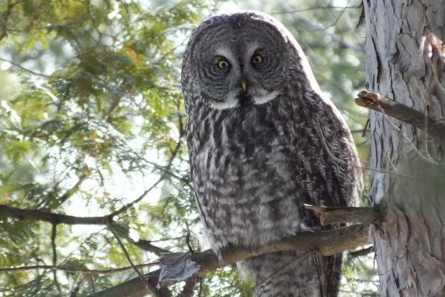 Great Grey Owl sitting on tree limb in a forest near Ottawa, Ontario, Canada