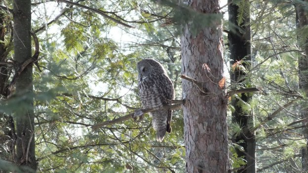 Great Grey Owl sits high in tree 2 - Ottawa - Ontario - Canada - Frame To Frame - Bob & Jean picture