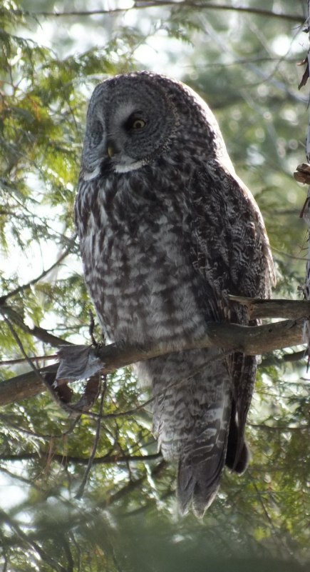 Great Grey Owl - sits proud in pine tree - Ottawa - Ontario - Canada - Frame To Frame - Bob & Jean picture