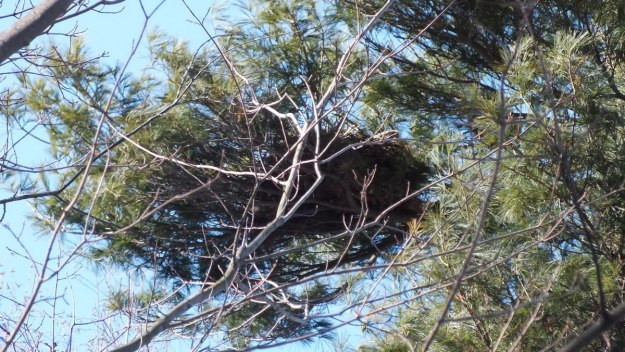 Great Horned Owl nest high in tree - Thickson's Woods - Whitby - Ontario