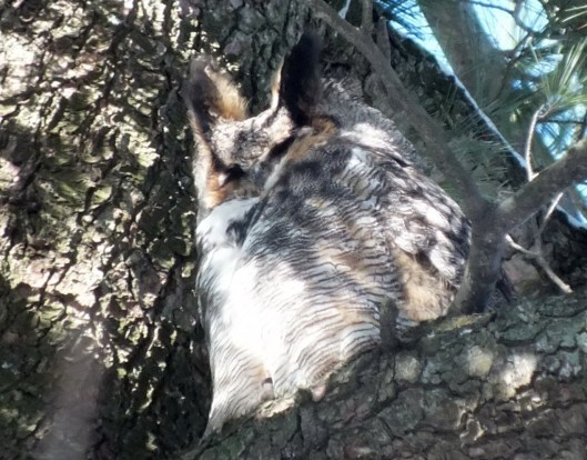 Great Horned Owl sits with eyes closed - Thickson's Woods - Whitby - Ontario