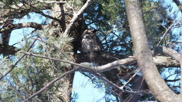 Great Horned Owl up in tree - Thickson's Woods - Whitby - Ontario
