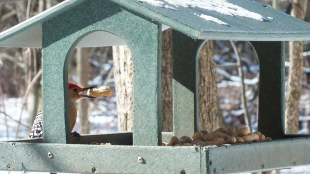 Red-bellied Woodpecker - gets a peanut - Lynde Shores - Whitby - Ontario
