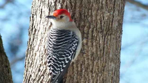 Red-bellied Woodpecker - twists head 180 degrees back - Lynde Shores - Whitby - Ontario