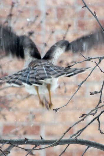 Sharp-shinned Hawk flies into Toronto snowstorm - Canada