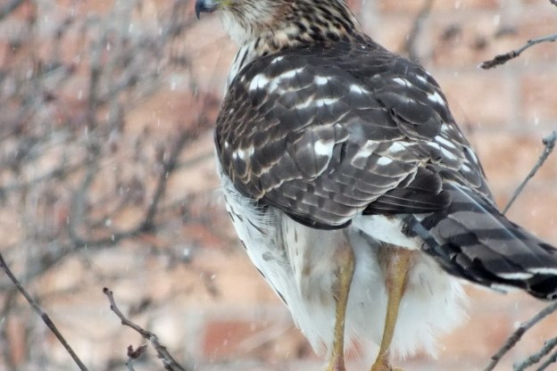 Sharp-shinned Hawk holds on with two claws during snowstorm in Toronto - Canada