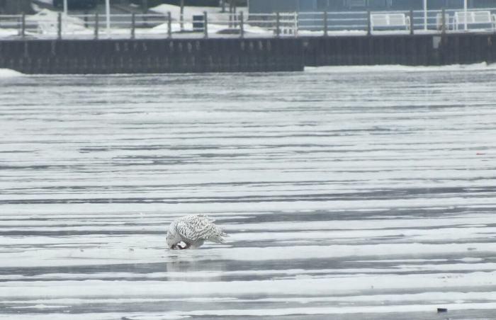 Snowy Owl - eating prey - Frenchman's Bay - Ontario - Canada