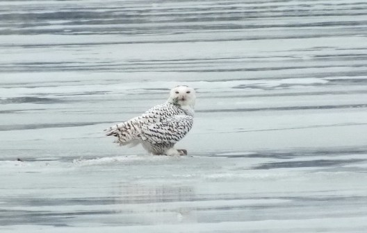 Snowy Owl gives me a close look 2- Frenchmen's Bay - Ontario - Canada