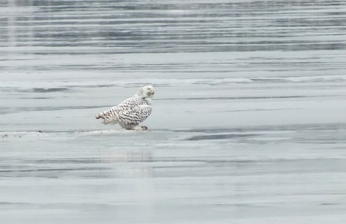 Snowy Owl - profile on ice - Frenchman's Bay - Ontario - Canada