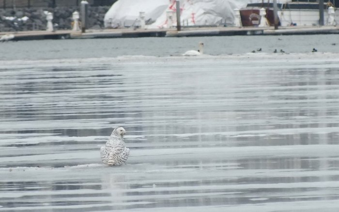 Snowy Owl on ice - Frenchman's Bay - Ontario - Canada