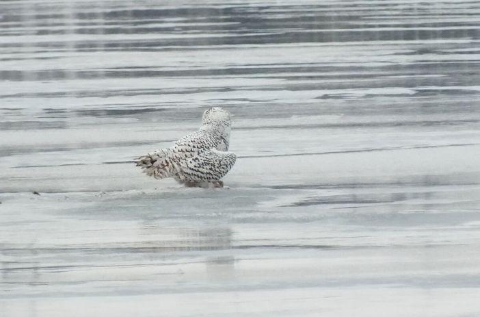 Snowy Owls - back - Frenchman's Bay - Ontario - Canada