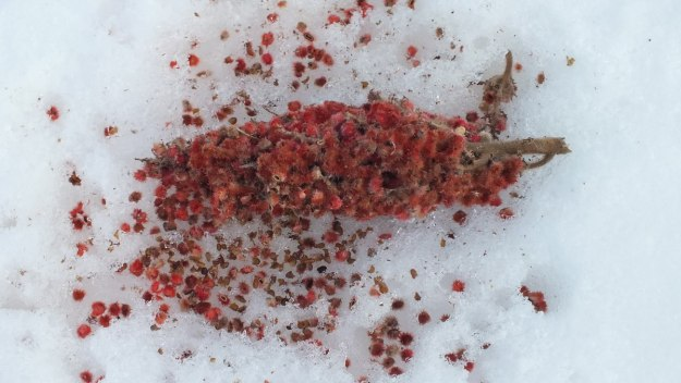 Staghorn Sumac Bract on snow near Ottawa, Ontario