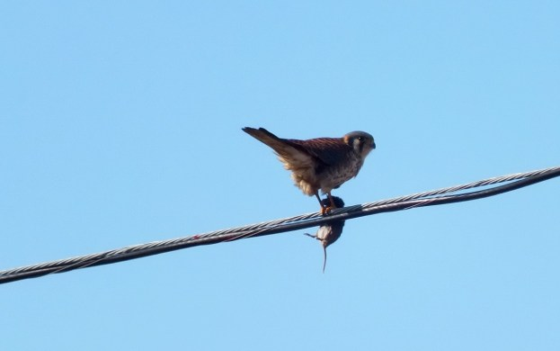 American Kestrel sits on powerline with mouse