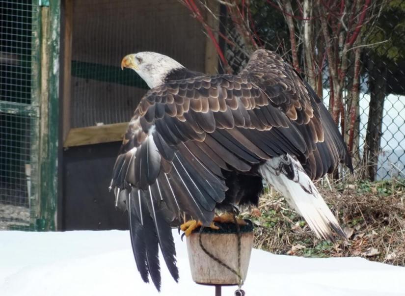Bald Eagle's back - Mountsberg Raptor Centre