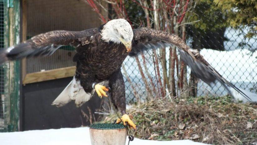 Bald Eagle landing at the Mountsberg Raptor Centre