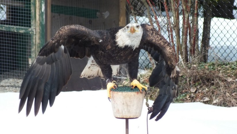 Bald Eagle spreads wings at Mountsberg Raptor Centre
