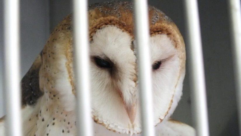 Barn Owl at Mountsberg Raptor Centre
