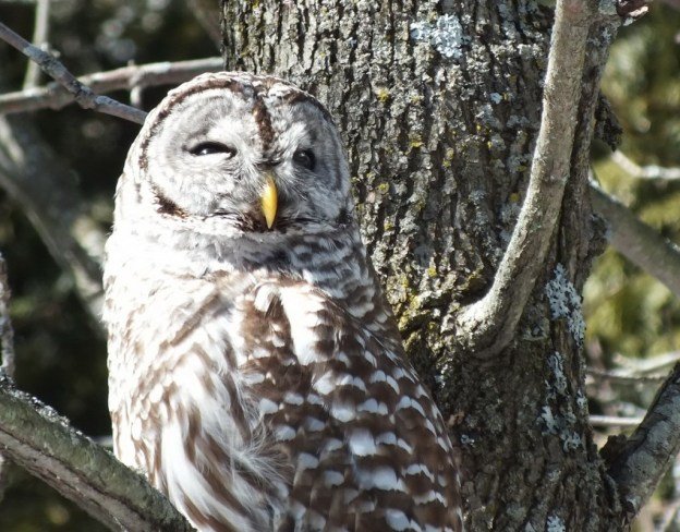 Barred Owl - looks upwards - Cranberry West Tract - Whitby
