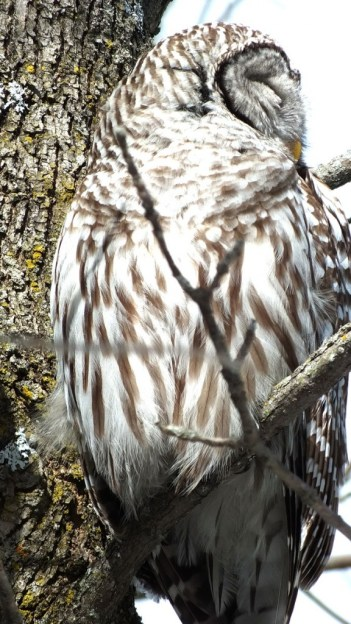 Barred Owl - sitting in tree - Cranberry West Tract - Whitby