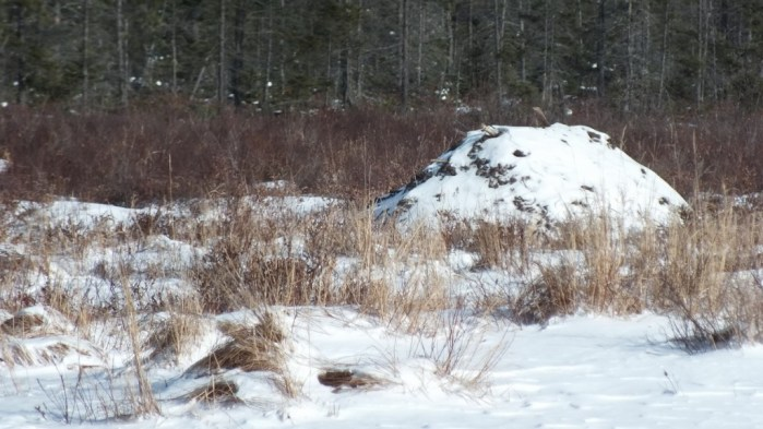 Beaver lodge in winter in Algonquin Provincial Park
