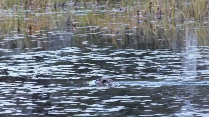 Beaver swims in bog, in Algonquin Provincial Park