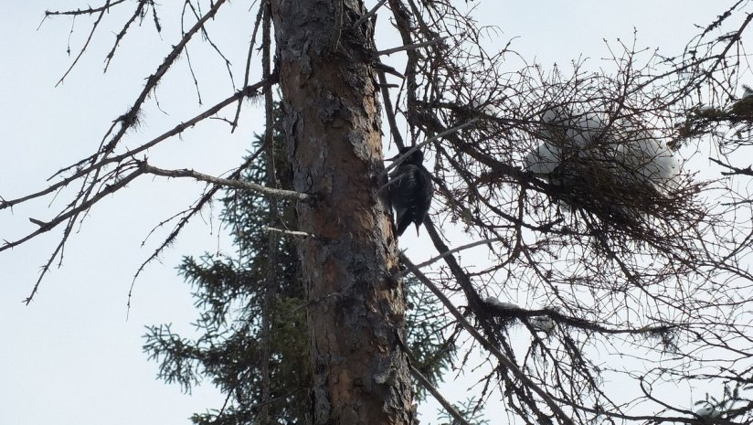 A Black-backed Woodpecker (Picoides arcticus) sits high up on the side of a tree in Algonquin Provincial Park - Ontario