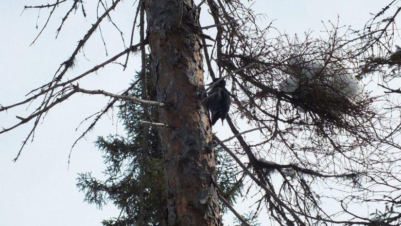 A Black-backed Woodpecker (Picoides arcticus), Algonquin Provincial Park - Ontario