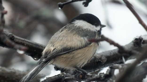 A Black-capped Chickadee sits in a tree in Toronto, Ontario during snowstorm - 1