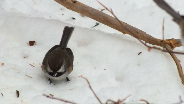 A Boreal chickadee on snowy ground in Algonquin Provincial Park