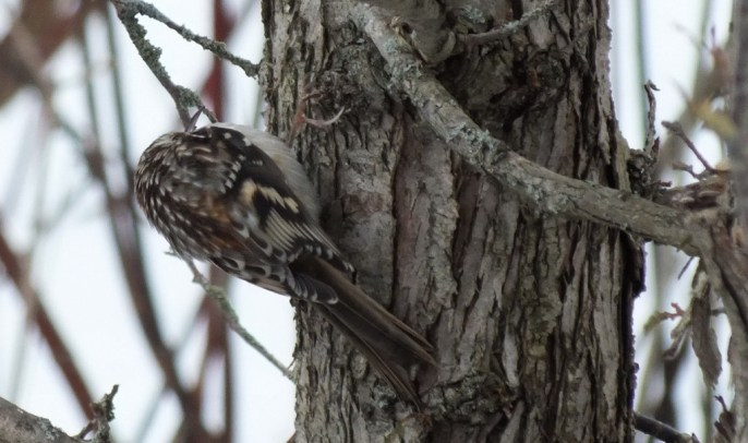 Brown Creeper holds on to tree in Algonquin Provincial Park