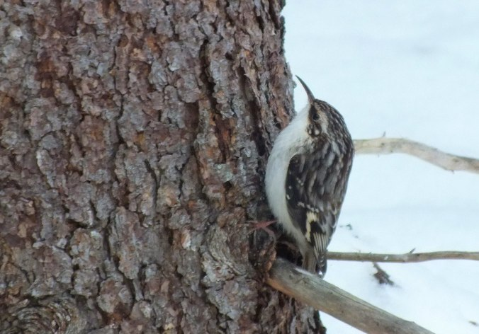 Brown Creeper in Algonquin Provincial Park