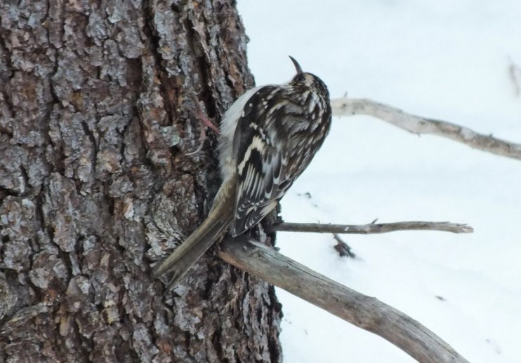Brown Creeper on tree in Algonquin Provincial Park